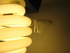 Moth and bulb