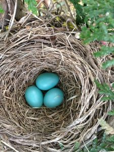 Photo of robin's eggs in nest